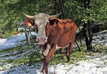 Cow_on_snowy_ground_2